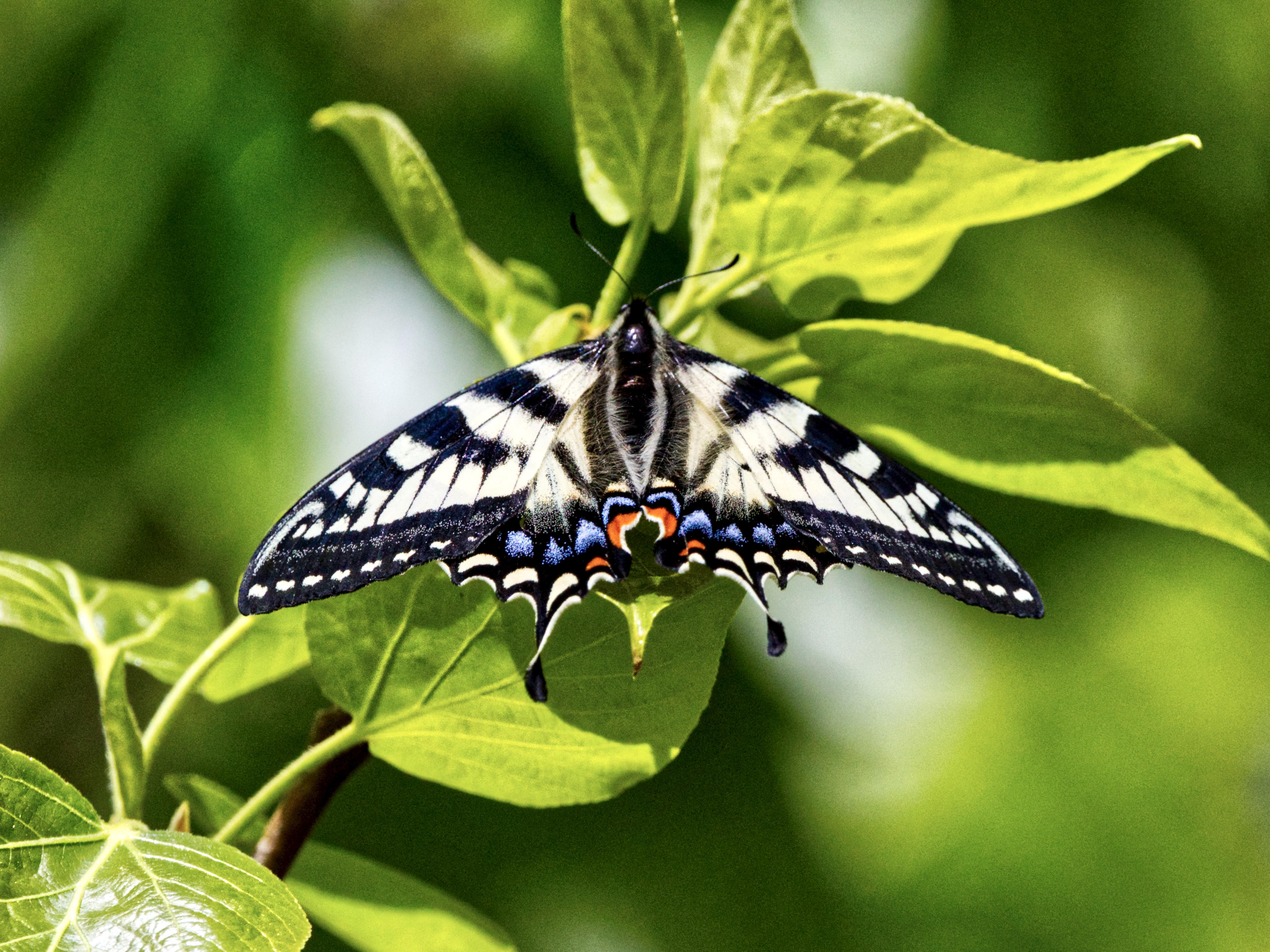 Canada Tiger Swallowtail